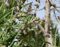 نباتات التوابل