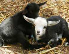עיזים וכבשים